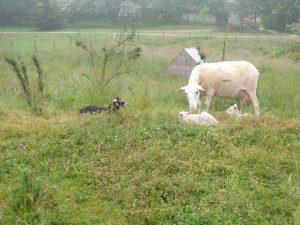 Nos voisins les moutons